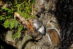 Shy Gray Squirrel in Tree (--Anne--) Tags: gray squirrel tree nature animals wildlife