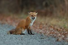 Red Fox (Carlos Carreras) Tags: redfox greatswampnationalwildliferefuge newjersey nature nj nwr baskingridge canon