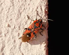 Spilostethus pandurus (Carla@) Tags: heteroptera insetti wildlife nature liguria italia europa spilostethuspandurus lygaeidae explorenaturethewildnature mfcc canon coth alittlebeauty thesunshinegroup specanimal coth5 sunrays5