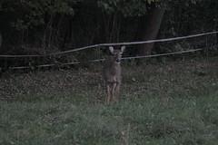 _MG_1985 (thinktank8326) Tags: deer whitetaileddeer fawn doe babyanimal babydeer