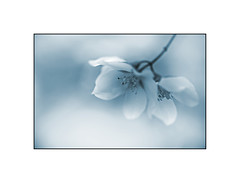 Blue (HannekeG) Tags: blue flower spring