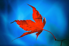 Red on Blue (A Great Capture) Tags: colourful colorful bright vivid bleu feuillage foliage tree sky urbannature nature park rouge toronto autumn fall maple leaves leaf blue red