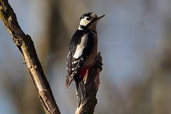Woodpecker (carlo612001) Tags: woodpecker wildlife bird birds nature animals