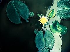 (bdrc) Tags: zenfone2 asdgraphy mobile handphone lotus plant nature flora flower