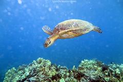 IMG_0118 (Aaron Lynton) Tags: spanish dancer snorkel scooter maui hawii hawaii canon g1x spanishdancer turtle honu tako octopus ocean animals papio yellowspotpapio starfish