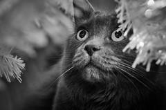 Razzle Dazzle (flashfix) Tags: december032016 2016 2016inphotos nikond7000 nikon ottawa ontario canada 40mm fyero lights cat christmastree festive bokeh monochrome ragdoll ragamuffin nebelung blackandwhite portrait christmas