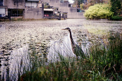 Egret in City - Film Leica (Photo Alan) Tags: waterside waterfront waterfrontpark water plant bird egret city cityofvancouver cityscape wilderness wildbird film filmcamera filmscan filmleica leicam4 leicasummiluxm90mmf20 vancouver canada