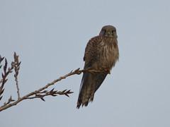 Watching (Peanut1371) Tags: kestrel bird birdofprey sky donnanook nationalgeographicwildlife