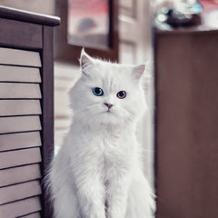 Badr (EEAworkshop) Tags: animals portrait pets cats animal white cat eyes colors brown blue indoor lovely beautiful cute pose indoors home memories friends art artistic interior colorful peaceful pet square format wood mirror dof closeup squareformat love mycat nikon d90 50mm