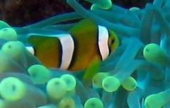 baby anemone fish (Carpe Feline) Tags: carpefeline mauritius scubadiving ocean reefs morayeels anemonefish scorpionfish lionfish arrowcrab nudibranch needlefish underwater