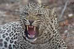 temperamental male Leopard between mating sessions (Kruger NP) (cirdantravels) Tags: panthera luipaard leopard léopard bigcat feline specanimal coth5