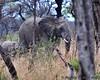 South Africa--Kruger Two 006 (REBlue) Tags: southafrica mpumalangaprovince krugernationalpark africanelephant bigfive