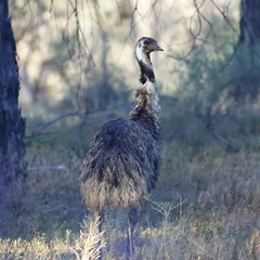 2016.11.17.06.27.07-Darling River emus (www.davidmolloyphotography.com) Tags: newsouthwales darlingriver menindee kinchega kincheganationalpark emu