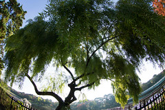 willow (nak.viognier) Tags: willow ryokuchipark osaka 緑地公園 柳 olympusepl3 lumixgfisheye8mmf35