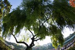 willow (nak.viognier) Tags: willow ryokuchipark osaka   olympusepl3 lumixgfisheye8mmf35