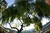willow (nak.viognier) Tags: willow ryokuchipark osaka 緑地公園 柳 olympusepl3 lumixgfisheye8mmf35
