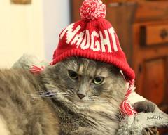 Naughty! (judecat (back with the pride)) Tags: cat feline longhaireddilutedtorsiteshell catinhat christmas dora