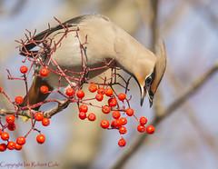 Waxwings (30 of 202) (ianrobertcole1971) Tags: bird waxwing invasion berries winter