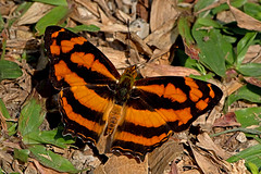 Symbrenthia lilaea - the Common Jester (BugsAlive) Tags: butterfly mariposa papillon farfalla schmetterling бабочка conbướm ผีเสื้อ animal outdoor insects insect lepidoptera macro nature nymphalidae symbrenthialilaea commonjester nymphalinae wildlife lamnamkoknp chiangrai liveinsects thailand thailandbutterflies ผีเสื้อลายตลกธรรมดา