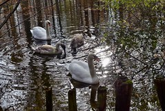 die Schwäne im Villenhofer Maar -leider nur noch 4 (mama knipst!) Tags: schwan swan wasservogel bird herbst november