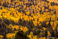 Forest of tall yellow Aspen trees (JohnHersey16) Tags: lockettmeadow natural color graphic pictures nature leaf trees picture tree falll scenic outdoors stockphotos wood autumn landscape season mountains golden gold images aspen sky stockphotograph aspentrees leaves foliage colorful stockphotographs aspens travel hartprairieartizona flagstaffarizona royaltyfreephoto woods graphics usa forest stockimage yellow