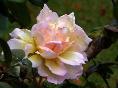 Peace In November (fotomie2009) Tags: rosa rose peace flora flower fiore autunno autumn automne otono