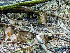 20161112-078 (sulamith.sallmann) Tags: landschaft natur pflanzen ast baumstamm landscape nature plants äste brandenburg deutschland deu sulamithsallmann