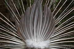 (Laszlo Papinot) Tags: eltham feather peacock bum tail montsalvat famousflickrfive