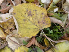 2016-10-25-7362 (vale 83) Tags: autumn leaves nokia n8 lunaphoto macrodreams flickrcolour thebestyellow colourartaward coloursplosion autofocus friends