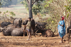 Maikal hills - Chhattisgarh - India (wietsej) Tags: maikal hills chhattisgarh india baiga rural tribal cattle sony a700 sonnar13518za sal135f18z zeiss