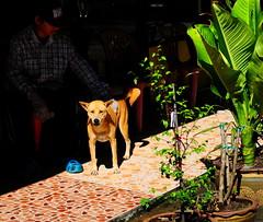 ,, Mama & Mr Leg Man ,, (Jon in Thailand) Tags: mrlegman mama dog k9 nikon nikkor d300 175528 jungle junglejounalism street man plants blue red yellow eyes tail green morningsun littledoglaughedstories