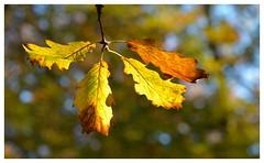 Magie de l'automne...Magic of autumn... (isabelle.bienfait) Tags: colors couleurs saison season automne autumn chne lumire bokeh gleam oak nikond5100 sigma105 isabellebienfait fort forest