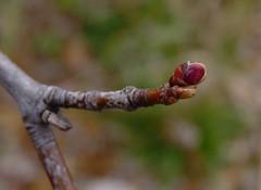 Red Maple (Dendroica cerulea) Tags: redmaple acerrubrum acer hippocastanoideae sapindaceae sapindales maple tree bud branch autumn richardarutkowskipark bayonne hudsoncounty nj newjersey
