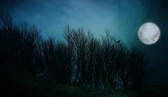 From Iceland. (Tta. 27.12.1964.) Tags: nature bird trees moon iceland sland