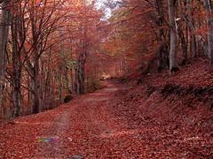 Hayedo de Pea Roya II (explore November 28, 2016) (jos luis Zueras) Tags: landscape josluiszueras olympuse500 bosques hayedos moncayo naturaleza aragn espaa rboles otoo senderismo caminos paseos