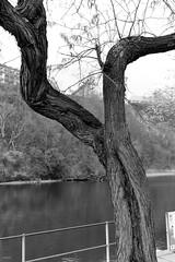 arbre (fotoleder) Tags: nb monochrome bw noiretblanc fotoleder ville plantes feuilles nature arbres eau fleuve automne végétaux extérieur genève ge suisse ch