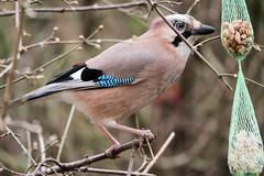 Eichelhäher an der Futterkette - Jay at the food chain (riesebusch) Tags: berlin garten marzahn vögel