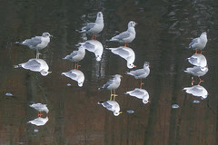 20161208-DSC04822.jpg (janstraatman) Tags: dieren meeuwen vogels