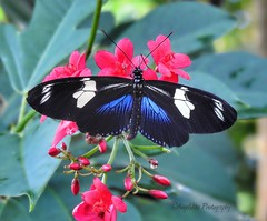 Sarah Longwing Butterfly (AngelVibePhotography) Tags: nikon flower closeup blue nature photography butterflies flowers garden sarahlongwingbutterfly sarahlongwing butterfly arthropods longwing outdoor colorful brightcolors nikonp900 animal depthoffield insect insects