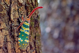 Pyrops candelaria - a lantern bug