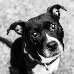 Lilo17Dec1600033-Edit.jpg (fredstrobel) Tags: dogs pawsatanta phototype atlanta blackandwhite usa animals ga pets places pawsdogs decatur georgia unitedstates us