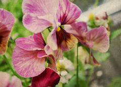 Viola #1 (MaureenAstrid) Tags: nature grunge viola vintagefeel macrophotograph violaflower grungedesigns
