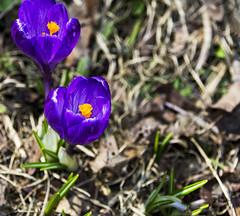 Spring crocus 1 (Bob (sideshow015)) Tags: new flowers fleurs garden spring 7100 birth jardin crocus mauve primtemps nikon7100