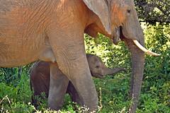 DSC_3282 (Arno Meintjes Wildlife) Tags: africa elephant nature wildlife safari krugerpark africanelephant big5 loxodontaafricana africanbushelephant southafric arnomeintjes