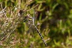 Healthy Appetite (Paul:Ritchie) Tags: nature dragonflies wildlife insects arthropoda odonata insecta anisoptera cordulegasterboltonii goldenringeddragonfly cordulegastridae nikond90 sigma70300mmf456apomacrodg paulritchie wwwhampshiredragonfliescouk