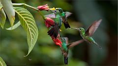 Green-crowned Brilliant Females Feeding (Raymond J Barlow) Tags: travel pink red green birds costarica hummingbird wildlife birdinflight raymondbarlowphototours