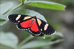 IMG_2800 Phaegorista agaristiodes (Raiwen) Tags: butterflies moths lepidoptera arctiidae erebidae noctuoidea phaegorista africa westafrica guinea moyenneguinée phaegoristaagaristiodes butterfliesofthefoutadjalon