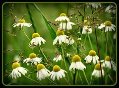 in der Natur !!! (karin_b1966) Tags: plant flower nature blossom natur pflanze blume wildflower blüte kamille naturewalk spaziergang 2014 wildblume