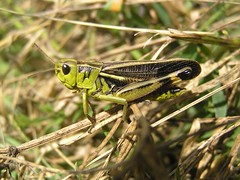 Arcyptera fusca - L'Arcyptre bariole ou Le Criquet bariol - The Large Banded Grasshopper - 24/06/14 (Philippe_Boissel) Tags: france europe insects savoie orthoptera 182 criquet acrididae rhnealpes gomphocerinae montagny arcypterafusca criquetbariol largebandedgrasshopper arcyptrebariole larcyptrebariole