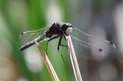 Whiteface Perch B (Doundounba) Tags: montral pentax dragonfly qubec libellule odonata 272e kiron lebizard leucorrhiniaintacta dottailedwhiteface k01 mc7 parcnatureduboisdellebizard tamronspdi90mmf28 leucorrhinemouchete